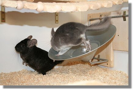 Best Toys And Exercise Wheel For Your Chinchilla