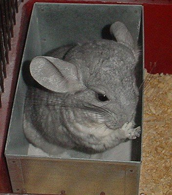 10 Things I Purchased Prior To Bringing Home My New Chinchilla