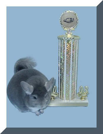 Buying A Chinchilla – 8 Things I Learned From A Champion Breeder