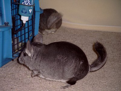 Chinchilla-Care-Sheet