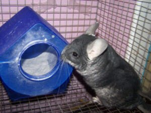 Read more about the article Why Do Chinchillas Need Dust Baths?