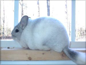 Chinchilla Environment ~ Chinchilla Proofing Your Home & Fixing Boredom