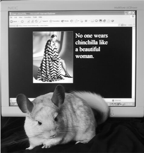 Chinchilla-Facts-You-Need-To-Know-2