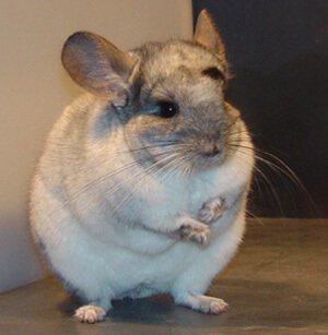 Chinchilla Herd-Supplement & Salt In The Diet