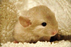 Chinchilla Lifespan: How Long Do Chinchillas Live?