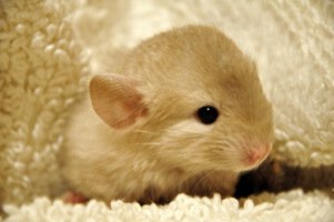 Chinchilla Lifespan How Long Do Chinchillas Live