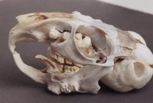 Is Chinchilla Malocclusion A Long Agonizing Death Sentence