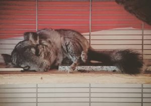 Chinchilla Temperature – Keeping chins cool in the summer