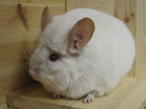 Read more about the article Chinchilla Colors… Part 2 – Chinchilla Genetics Chart