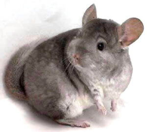 How Long Is A Chinchilla's Gestation Period