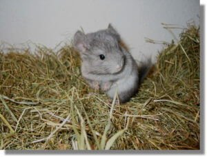 Read more about the article Chinchillas: Hand-Rearing Kits, Fostering & Rotating, Reviving Dead Kits