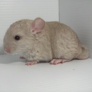 Chinchilla Colors Hetero Beige