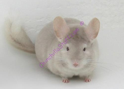 Chinchilla Colors Homo Beige
