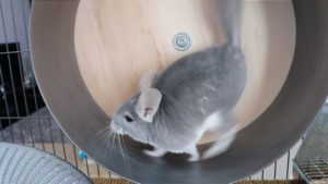Read more about the article How Does Exercise Effects Chinchillas
