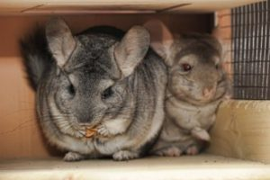 How to Discipline Your Pet Chinchilla