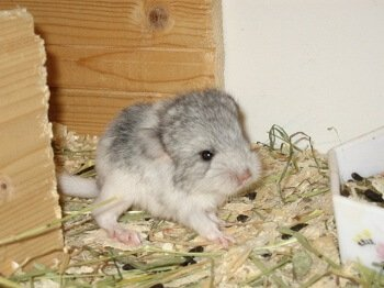 How To Handle A Chinchilla Mom And Chinchilla Baby