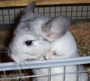 Kahli our chinchilla