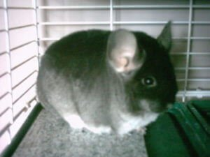 Preventing Chinchilla Environmental Stress
