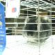 Showing-Chinchillas - Winner