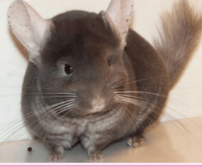 Chinchilla Colors TOV-Dark-Tan
