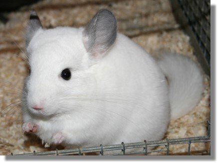 Tips You Can Learn Today To Help Your Chinchilla A Lifetime
