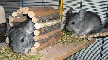 What Do Chinchillas Need In Their Cage