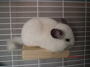 What Do Chinchillas Need