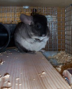 Avra our chinchilla as a pet