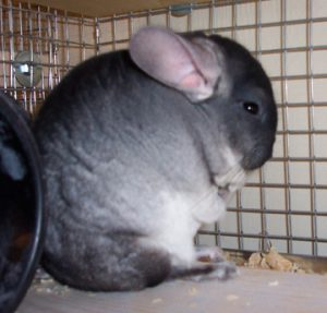 Avra our chinchilla as a pet