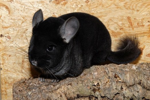 Chinchilla Colors Black