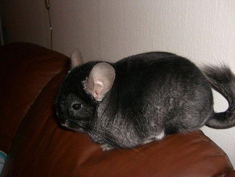 black-chinchilla-example