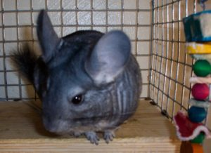 Bonnie our chinchilla as a pet