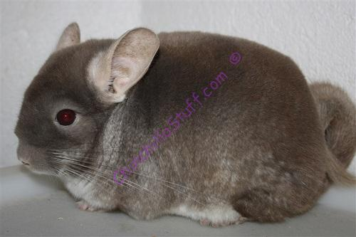Chinchilla Colors brown-velvet