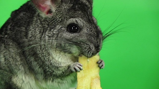 Can chinchillas eat apples? Yes!