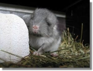 Read more about the article Beginners Guide To Sexing A Chinchilla, Breeding & The Care Of Kits