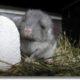chinchilla-breeding-sexing-guide