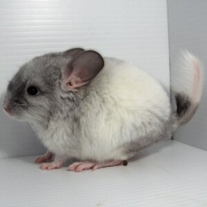 chinchilla-color-White Mosaic