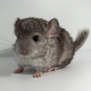 chinchilla-color-standard