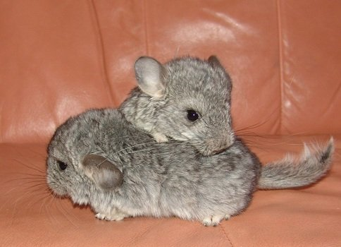 chinchilla-facts-for-kids-baby-chins