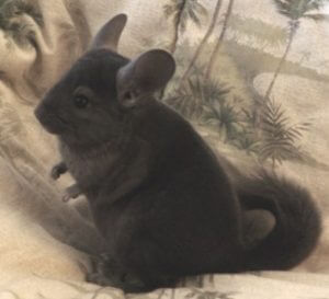 Read more about the article Chinchilla Rescues