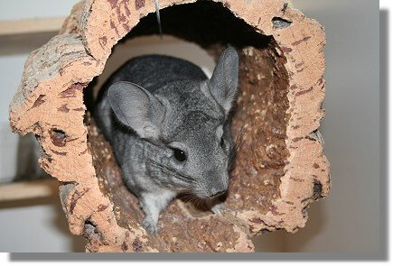chinchilla-safe-wood