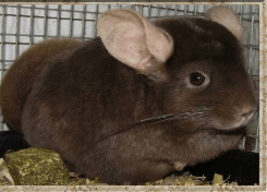 chinchilla colors dark-tan