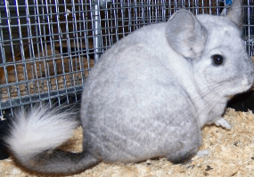 chinchilla colors ebony-white