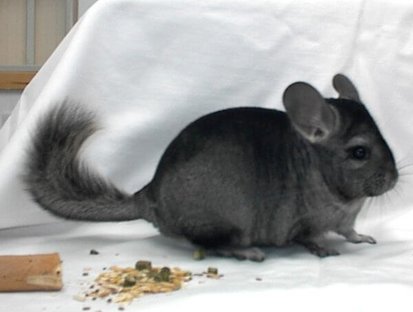 Chinchilla Colors ebony