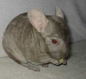 harold the chinchilla