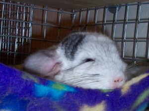 hera our chinchilla as a pet