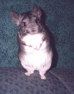 My Chinchilla Jasper