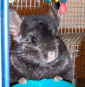 koontz our chinchilla as a pet