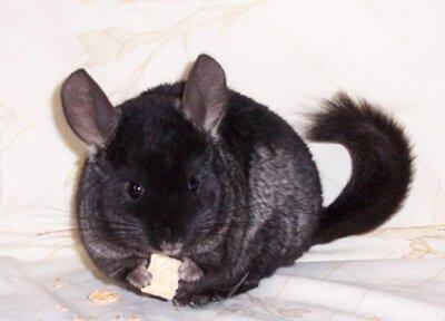 krishna-the pet chinchilla