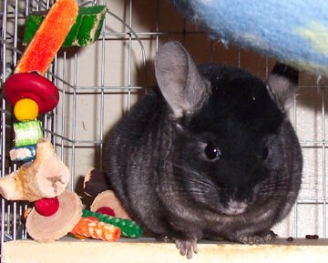 krishna-the pet chinchilla